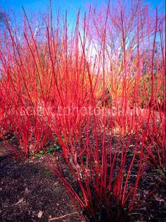 cornus alba sibirica - best per Alan Titmarsh Sloped Garden, Plants, Flowers Nature, Planting Flowers, Garden Plants, Meadow Garden, Winter Garden, Winter Plants, Shade Plants