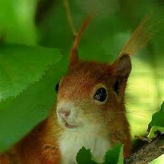 Red Squirrel In The Scottish Highlands