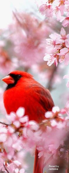 I love Cardinals. They are such beautiful birds.