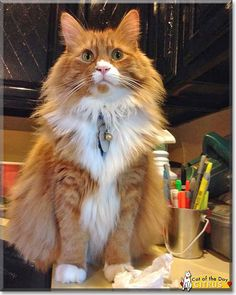 Read Citrus's story the Maine Coon from Folcroft, Pennsylvania and see his photos at Cat of the Day http://CatoftheDay.com/archive/2015/April/02.html