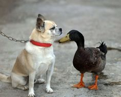 A dog and a duck have developed a surprisingly deep friendship in Qionghai, southern China's Island Province of Hainan. Li Dabo said he bought the pet dog and duck at nearly the same time four years ago. Over the years, as they have lived and played together, he says, they have developed a very strong bond and now do everything together.