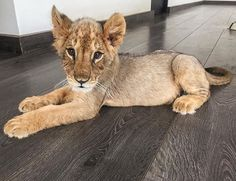 Baby Sonny who was rescued by Eduardo Serio founder of the Black Jaguar White Tiger Foundation.