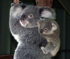 Mama and baby koala.