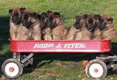 Six week old Belgian Tervuren Puppies in a wagon