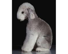 Bedlington Terrier. THe cutest dog ever