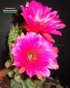 Echinopsis cv 'Hallucination'