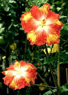 """Hibiscus """"Tangerine Dream"""""""
