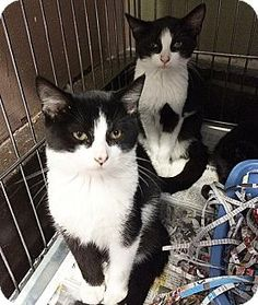 Media, PA - Domestic Shorthair. Meet Kane, a kitten for adoption. http://www.adoptapet.com/pet/13797152-media-pennsylvania-kitten