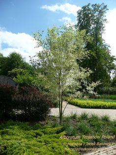 Arboretum Trojanów PolandFraxinus pennsylvanica 'Argenteomargina