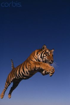 tiger jumping | Bengal Tiger Jumping - 42-18867093 - Rights Managed - Stock Photo ...