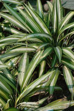 Chlorophytum, Kolkata, Plant Leaves, Plants, Flora, Plant
