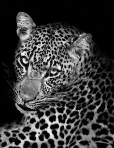 Fotobehang Luipaard Leopard in Black and White