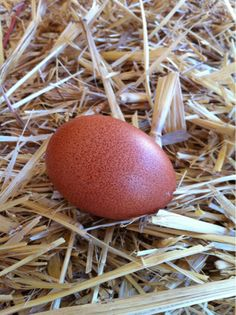 Welsummer egg. Red tint with nice speckles. #TwitPict