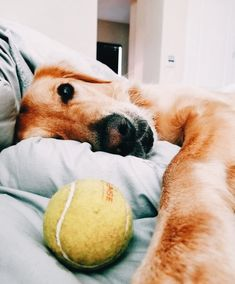 The Versatile Golden Retriever - Champion Dogs Cute Puppies, Cute Dogs, Dogs And Puppies, Doggies, Animals And Pets, Cute Animals, Sweet Dogs, Retriever Puppy, Cute Creatures
