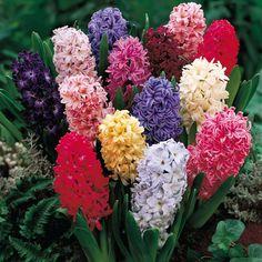 Jacinto - Família Hyacinthaceae - O nome Jacinto advém da mitologia grega que o identifica como um amigo de Apolo, um dos seus favoritos.
