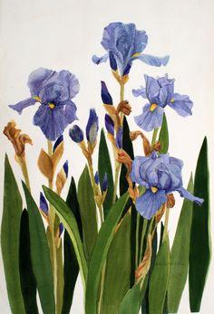 Iris Group Original Watercolor by Wanda's by wandazuchowskischick