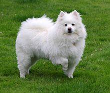 El perro esquimal americano fue criado originalmente para proteger personas y bienes y, por lo tanto, es territorial por naturaleza y un perro guardián valiente. No se consideran una raza agresiva. Sin embargo, debido a la historia de vigilancia de la raza, esquimales americanos son en general bastante vocal, ladrando a cualquier extraño que llega en la proximidad al territorio de sus dueños.  En el norte de Europa, más pequeño Spitz se desarrolló eventual en los diversos Spitz alemanes…