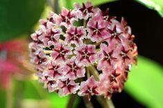 Hoya sp. aff. erythrostemma