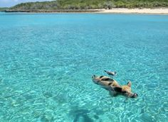 Swimming pigs. Big Major's Spot, Bahamas