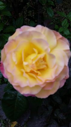 captivating rose in Rome Italy  http://www.just-commerce.net