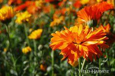 Oregon's Wild Harvest Biodynamic and Organic Calendula #organic #oregon #herb