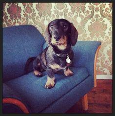Potrait of a dachshund.