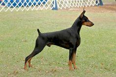 American Doberman, Doberman Pinscher, Dog Grooming, Handsome Boys, Animal Pictures, Dog Breeds, Pets, Wolf, Romantic