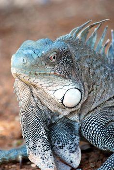 Iguana - Bonaire, Netherland Antilles