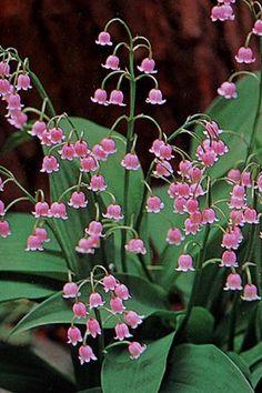 Pink Lily of the Valley / plante / fleurs / muguet / rose / herbacée Pink Garden, Shade Garden, Dream Garden, Garden Plants, Amazing Flowers, Pink Flowers, Beautiful Flowers, Beautiful Gorgeous, Pink Lily