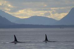 Orca whales off San Juan Island