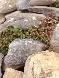 Sedum at dunbeg fort Stepping Stones, Bloom, Outdoor Decor, Plants, Stair Risers, Plant, Planets