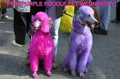 My dogs except for minature punk and purple poodles