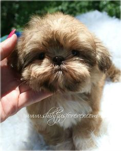 Imperial Shih Tzu puppies for sale. Available Imperial Shih Tzu boy. Visit our…