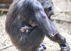 Am Dreikönigstag brachte das Schimpansenweibchen Vanessa ein Jungtier auf die Welt. www.noz.de/artikel/444573