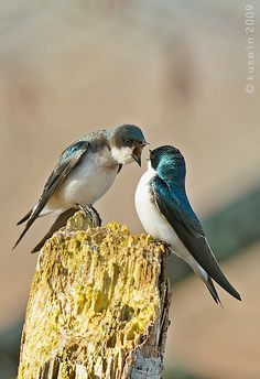 Drill sargeant! tree swallow (tachycineta bicolor)