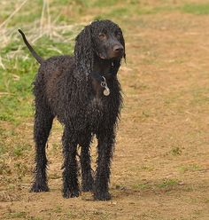 Wet Irish Water Spaniel | by greypoint