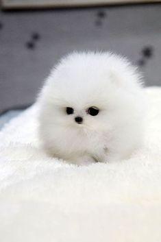 Chien miniature Spitz nain Poméranien blanc
