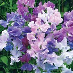 Reukerwt Lathyrus odoratus Twilight - Klimplant geurplant snijbloem ...