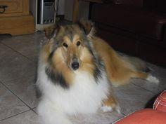 Lisa, chien Colley à poil long