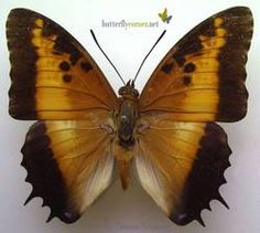Black-bordered Charaxes Butterflies