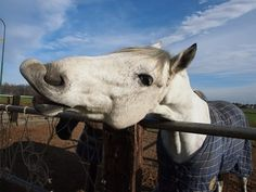 Managing Mouthiness - TheHorse.com | My gelding is very mouthy. Should this behavior be curbed, and how can I accomplish this? #horsebehavior #horses