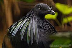 All sizes | Nicobar Pigeon / Pomba-de-nicobar (Caloenas nicobarica) | Flickr - Photo Sharing!