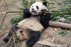 Panda i Chengdu, Kina Chengdu, Panda Bear, Pandas, Panda Bears, Panda