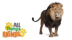 LIONS: Animal videos for children and kids. Preschool| Kindergarten lear...