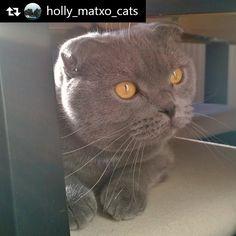 Matxito que es viernes!!!! Repost from @holly_matxo_cats ... #mimiandiosucats #britishshorthair #instagram #catstagram #catsofinstagram #bsh #lovelycats #instacat #meow #cute #love #cat #gato #pet #petstagram #Catslover #kitty #kitten #catsofworld #catoftheday #catslife #caturday #catlounge #adorable #petoftheday #cutecat #eyes #beutiful #cats #toptags by mimicoronado86