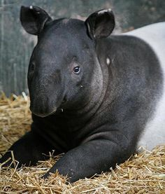 A Malayan tapir is going on show for the first time today at the Chester Zoo in Cheshire, England. Marjorie is 10 months old, and just moved from the Belfast Zoo. She is the first of her kind at the zoo since the mid-'80s, and can be seen out and  about on the paddock. So sweet.