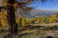 Lärche beim Abstieg nach Surlej.(Bilder: Heinz Staffelbach)