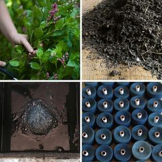 For nearly 5,000 years, in almostevery culture on earth, indigo plants of manyspecies havebeen prized for the intensely beautiful blue pigment theyimpart. Japanese indigo, or Polygonum tinctori...