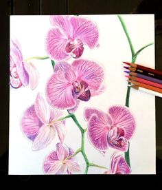Orchid colored pencil drawing