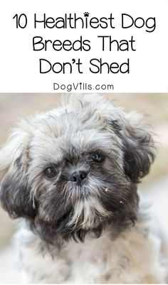 Looking for adoption tips to find a healthy hypoallergenic dog? Check out the top ten healthiest dogs that don't shed!